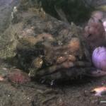 Grumpy fish on seahorse dive