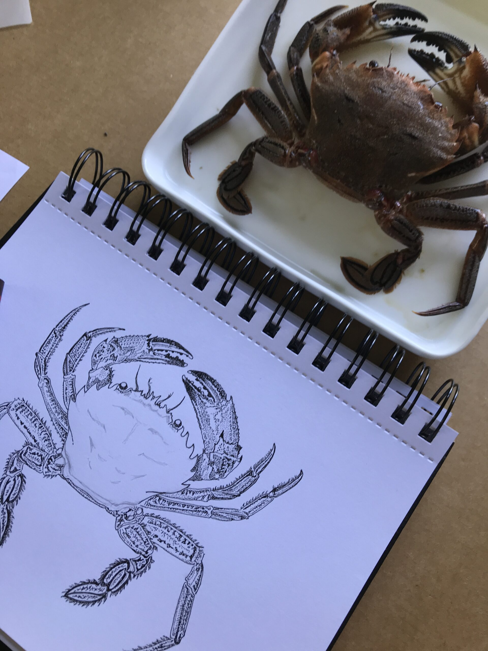 A Marine Life Creature, small, but with a big attitude, the Velvet Swimming Crab!